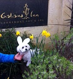 Oliver! One of our regular guests at the Inn visited us at Easter looking every bit the part. #spring #bunny #Easter #gardens #galiano #galianoisland