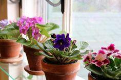 Violetas africanas en ventana