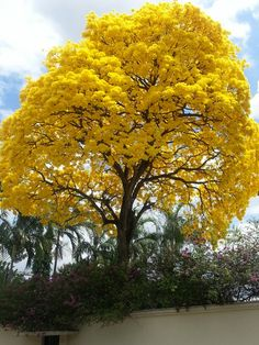 Tree in Panamá,  called guayacan!