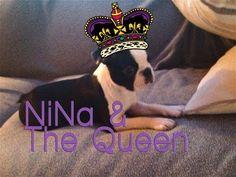 NiNa & The #Queen - #Boston #Terrier is listening to #TheQueen