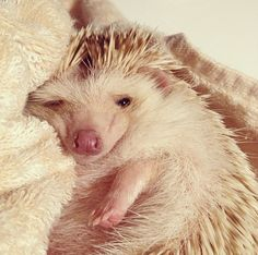 sleepy hedgie! >>> I want a hedgehog sooo bad!!! They r so cute, ah I would die if I got one! Just as exciting as getting 1D tickets!! That's a big deal haha