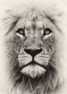 "magicalnaturetour: ""Spirit Lion by Rudi Hulshof on 500px.com """