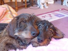 Wirehair doxies