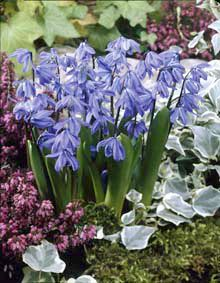 """VARIETY: Scilla siberica. GROUP: Miscellaneous flowerbulbs. FLOW.PERIOD: 3 = early April. HEIGHT: 6""""(15 cm.) PERENNIAL FLOWERING: +. DESCRIPTION: blue, beeplant. SPECIAL USE: naturalizing, border. POSITION: sun, half shade. SOIL: well-drained, organic, moist. BULBS / Yd2(M2): 75/150 pc. PLANTING DEPTH: 2-3""""( 6-8 cm.) Hardiness: Zone 2-9 Bulb size: 8+cm Qty: 50 bulbs per unit Quantity Price 1 - 1 $9.80 $8.82 2+ $9.30 $8.37 per unit"""