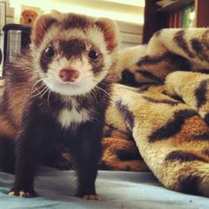 Paranoid Ferret Thinks Someone Is Right Behind Her Susi, a ferret from Pasadena…