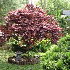 La pianta di Acero Palmatum Bloodgoodè un arbusto appartenente alla famiglia delle Aceraceae ed originario dell'estremo Oriente…
