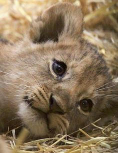 Lion Cub by Zuiko Mike on Cute Baby Animals, Animals And Pets, Funny Animals, Wild Animals, Big Cats, Cats And Kittens, Cute Cats, Beautiful Cats, Animals Beautiful