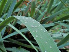 Raindrops by Ellie Oprea Rain Drops, Fine Art America, Plant Leaves, Nature Photography, Wall Art, Plants, Pictures, Garden, Garten