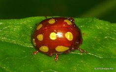 Beetle from Sumaco Volcano, Ecuador: www.flickr.com/andreaskay/sets/72157658179635954
