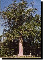 Warkworth - Parry Kauri Park - McKinney kauri tree #GreatFoodRace
