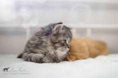 Deutsch Langhaarkaterchen Eragon vom Blümelsbachtal Siberian Cat, Cattery, Fox, Long Hair Styles, Cats, Diy Dog, Pets, Animales, Long Hair