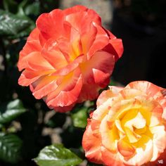 Chihuly® Rose — Green Acres Nursery & Supply