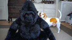 Dog Falls in Love with Stuffed Gorilla: Cute Dog Maymo