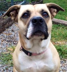Baby Doll- KIDS! is an adoptable Boxer, American Bulldog Dog in Falls Church, VA Baby Doll is just as her name implies! She is a doll! This gal extremely affectionate and a WON ... ...Read more about me on @petfinder.com