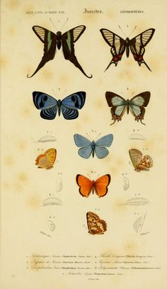 Dictionnaire universel d'histoire naturelle, Charles Dessalines d'Orbigny, Vol. II 1849 Atlas (Zoologie Humaines, Mammiferes & Oiseaux).