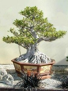 Ficus Ginseng Ficus Ginseng Bonsai, Bonsai Garden, Bonsai Art, Bonsai Trees, Indoor Bonsai, Fig Tree, Live Plants, Glass Vase, Landscape