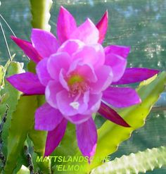 Epiphyllum hybrid 'Elmon'
