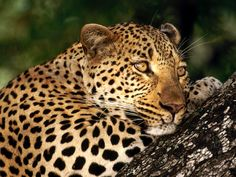 pictures of nature and animals | Male Leopard Sabi Sabi Private Game Reserve South Africa wallpaper