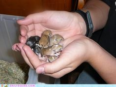 Baby Gerbils!