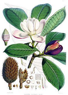 El bosque El Bosque fue uno de los epicentros del desarrollo de la Expedición Botánica. Ubicado en las afueras de la población, fue escogido por Mutis como campo de observación por la gran variedad de flora y fauna que era posible encontrar allí. Por ello, en este lugar fueron realizados importantes descubrimientos: el té, la canela y la quina, todos productos no solo importantes para la ciencia sino también para los intereses comerciales de la corona española.