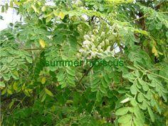 Moringa oleifera MALUNGGAY TROPICAL VEGETABLE TREE