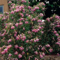 Dessert Willow - native, hummingbird attractor. shrub/privacy. Chilopsis linearis (Desert Willow) - Fine Gardening Plant Guide
