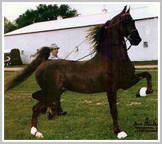 Sultan's Santana, an American Saddlebred