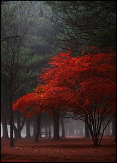 Lonely red tree on a foggy autumn day.