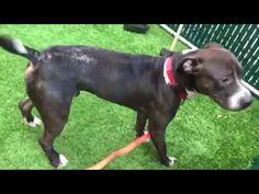 DEATH ROW DOGS 11/30/17 !!! SHARE !!! TRIBECA -14520