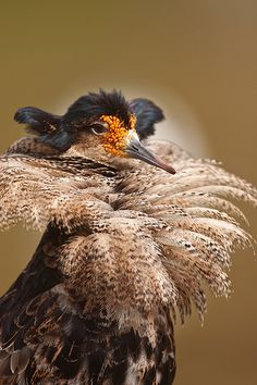 This bird ... ruff, orange warts, odd bill, ears (ears?!) ... well, it's a Ruff! Thee Grand Dame