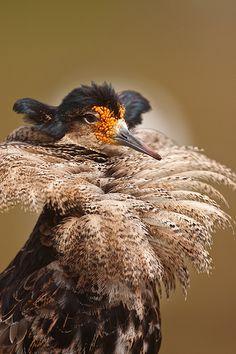 Ruff (Philomachus pugnax) Турухтан
