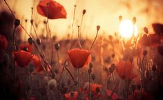 Poppies in the sunset HD Wallpaper