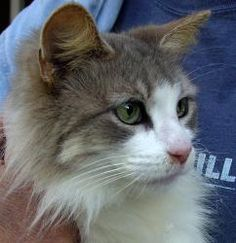 Buffy is an adoptable Maine Coon Cat in Sarasota, FL. They dont come any prettier than Buffy.� She is a sweetheart.� She was dumped at a high kill shelter and she got lucky!� We saved 6 that day!� ...