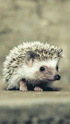 Facts about hedgehog pet cute hedgehogs смешные животные, еж Pygmy Hedgehog, Cute Hedgehog, Hedgehog Animal, Cute Baby Animals, Animals And Pets, Funny Animals, Strange Animals, Little Critter, Mundo Animal