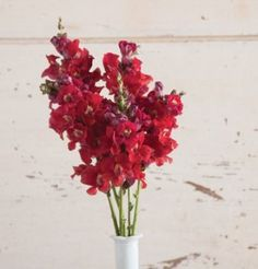 This page gives instructions on how to buy snapdragon flower seeds from David's Garden Seeds. List Of Flowers, Cut Flowers, Garden Seeds, Garden Plants, Summer Garden, Lawn And Garden, Snapdragon Flowers, Winter Greenhouse, Garden Organization