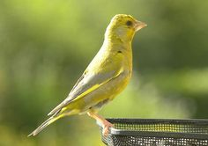 Green Finch. Jenny Steel's Photopage Birds. UK