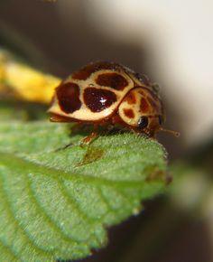 Brazilian ladybug!