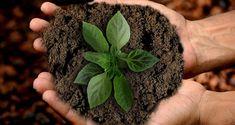 Światowy Dzień Gleby  obchodzony jest 5 grudnia w 50 krajach, także w Polsce. Święto ma na celu uczczenie roli gleby jako dostawcy żywności, oczyszczaniu środowiska oraz zwiększenie świadomości społecznej na temat roli gleby w środowisku i życiu człowieka. Organic Plants, Organic Gardening, Sustainable Gardening, Fungi, Dried Basil Leaves, Crop Protection, Pulling Weeds, Basil Plant, Bhut Jolokia