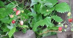 The Wild Strawberry: