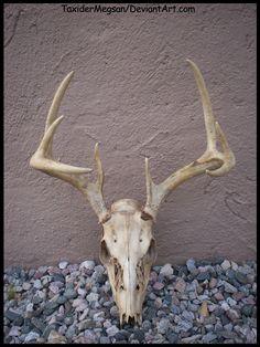 whitetail_deer_skull___taxidermegsan__by_taxidermegsan-d4rysdk.jpg (1236×1649)