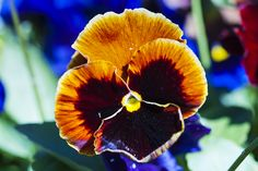 An orange-and-crimson pansy with a hint of yellow edging and center Spring Colors, Orange, Yellow, Pansies, Garden, Plants, Garten, Flora, Plant