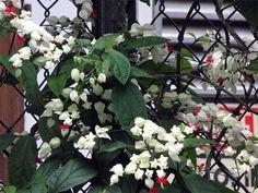 Como cuidar de Lágrimas-de-cristo. As Lágrimas de cristo são plantas trepadeiras com caule semi-lenhoso e que pertencem à família Verbenaceae por causa de seus longos ramos e flores e folhagens decorativas. São muito bonitas e relativa...