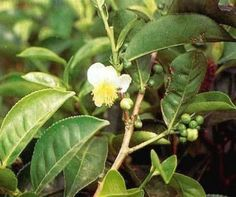 Suma Root, an adaptogen that strengthens and protects the body and mind against stress.