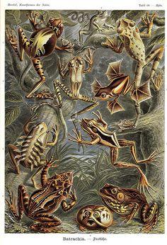 Items similar to Frogs Batrachia Amphibians Ernst Haeckel Illustration Archival Quality Print Art Forms In Nature Kunst-Formen der Natur on Etsy Art Et Nature, Nature Drawing, Nature Decor, Ernst Haeckel Art, Nadir Afonso, Frosch Illustration, Illustration Artists, Download Art, Natural Form Art