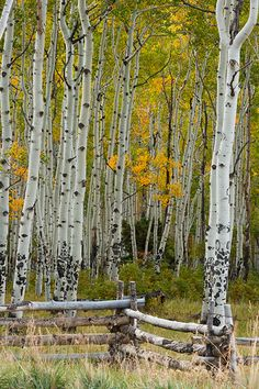 Fall picture of an old fence and aspen along Last Dollar Road near Telluride, Colorado by well known nature photographer Andy Cook. Fence Landscaping, Backyard Fences, Garden Fencing, Pool Fence, Front Yard Fence, Fenced In Yard, Fence Gate, Green Fence, White Fence