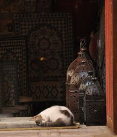 The Cats of Morocco