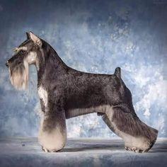 Reberstein's Miniature Schnauzers offers professional grooming for your Miniature Schnauzer. Miniature Schnauzer grooming charts and useful information. Schnauzer Grooming, Schnauzer Puppy, Dog Grooming Styles, Dog Grooming Tips, Creative Grooming, Schnauzers, Miniature Schnauzer Black, Standard Schnauzer, Dog Haircuts