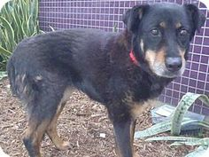 07/10/16 SUPER URGENT LA KILL SHELTER ADOPT / HELP RESCUE SENIOR DOG DUCHESS a Rottweiler/German Shepherd Dog Mix, she is a large senior female for adoption in Los Angeles, CA who needs a loving home.