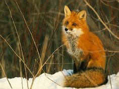 fox fox fox fox fox fox fox fox fox fox
