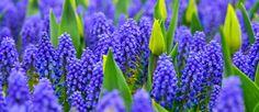 Flori din Olanda / octavi.ro